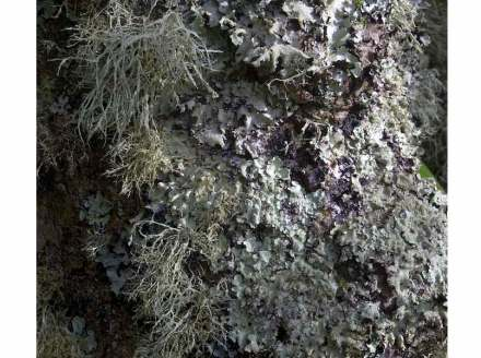 Lichens-covered tree. Photo: MichaelMaggs / Wikimedia Commons