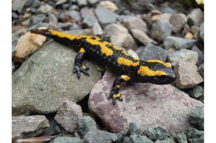 Fire salamander. Photo: Daria-bs / Wikimedia Commons