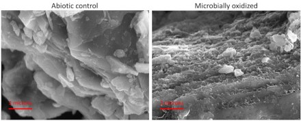 "These microscope images compare sterile rock (left) with rock incubated in a fluid containing bacteria extracted from the Puerto Rico site. ""In every nook and cranny, in every cracked rock, where there is ferrosilicate mineral, there is probably a microbe sitting on there, trying get energy,"" says senior author Eric Roden. The outcome seems to effect all who eat. Credit: Stephanie Napieralski"