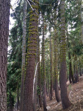 Rings of moss on tree trunks