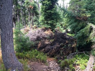Tree blowdown on the PCT