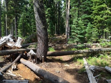 Trees down all over obstructing the PCT