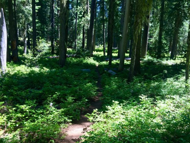 PCT passing through shady thickets of blueberries