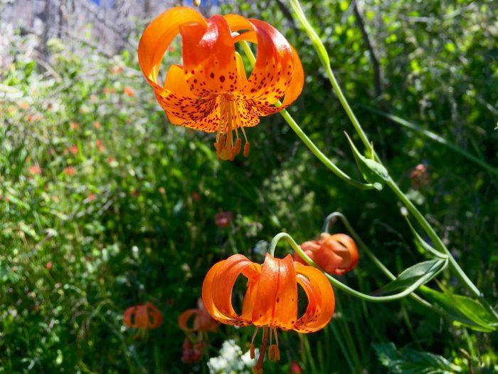 Bright orange tiger lilies in full bloom
