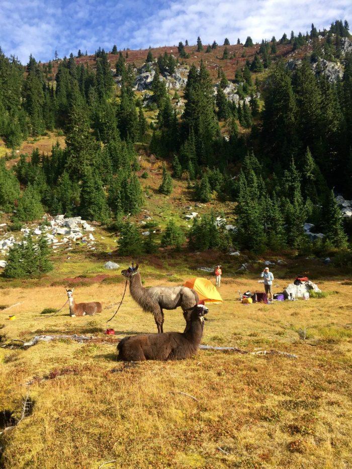 Llamas resting in a meadow alongside the PCT