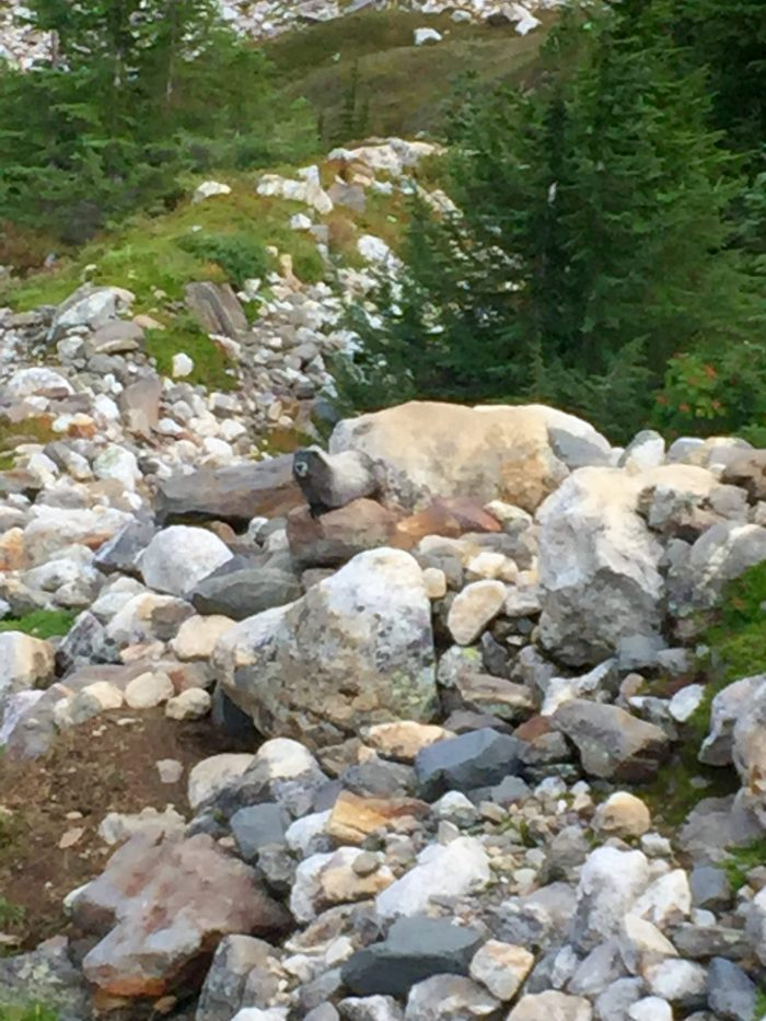 Marmot hanging out on rocks along the Pacific Crest Trail