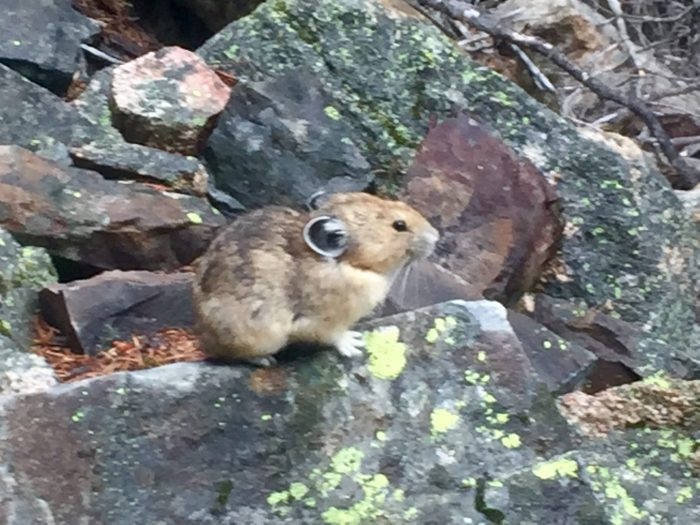 Tiny pika perched on the rocks next to the PCT