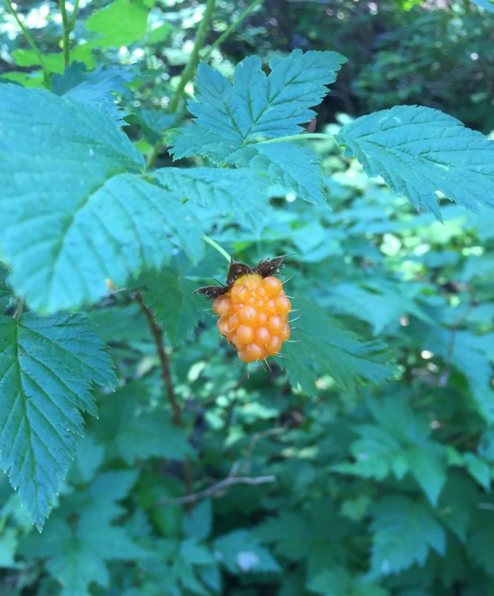 Golden salmonberries growing next to the trail
