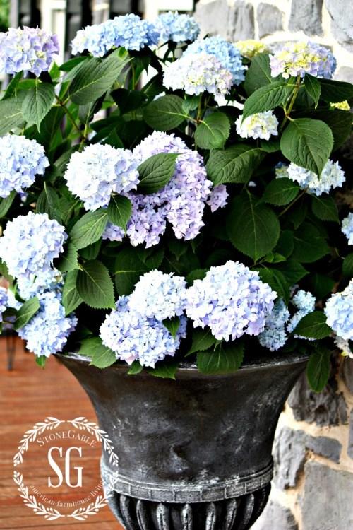 PLANTING HYDRANGEAS IN POT AND URNS-hydrangeas-blooms-endless summer-stonegableblog.com