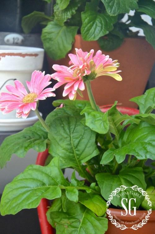 SUMMER POTTING BENCH-pink garbara daisies-stonegableblog.com