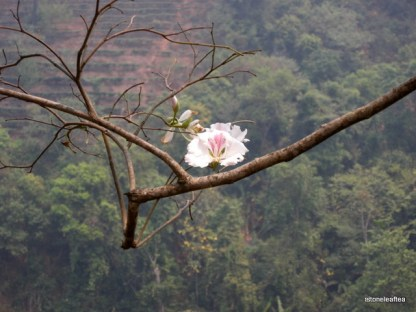 Yunnan Spring Tea Travels and Blooming Flower