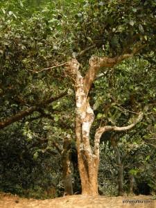 Dehong Wild Tree