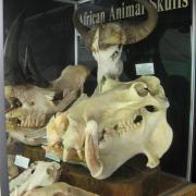 African Animal Skulls 037