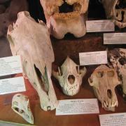 African Animal Skulls 040