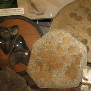 Fossil Display 008