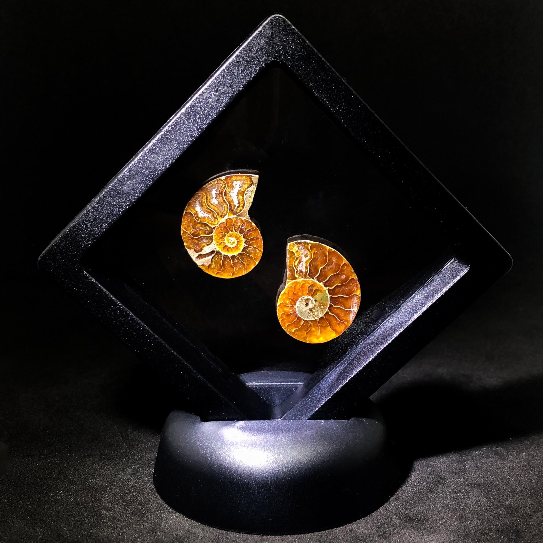 Ammonite Display