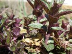 Peppermint, mentha piperta, plants for sale, nz