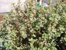 Lemon Thyme, Thymus x citriodorus aureus , plants for sale, nz
