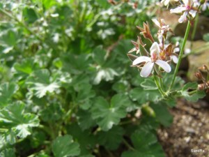 Nutmeg geranium, Pelargonium fragrans
