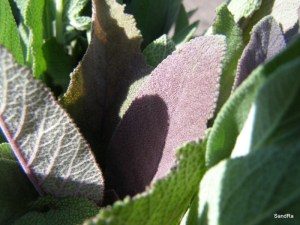 Purple sage, Salvia purpurea
