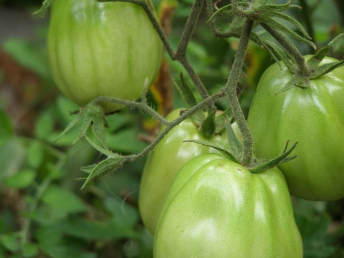 What to do with unripe tomatoes