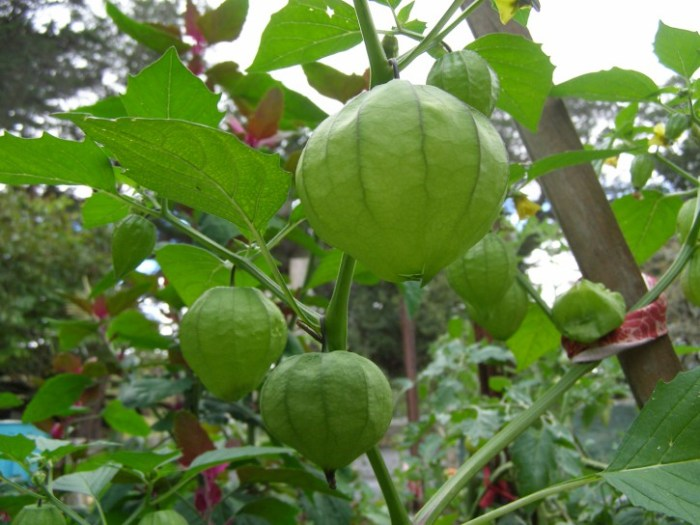 Tomatillo lanterns
