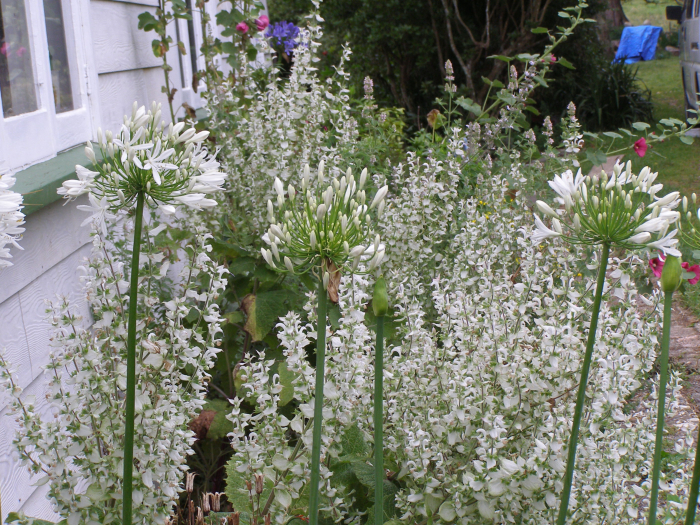 The side garden with Clary sage and white hydraengas