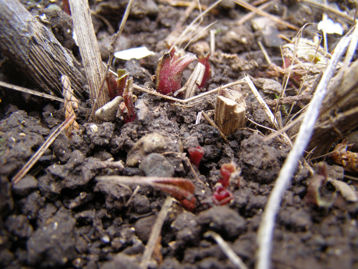 Echinacea emrging in spring from dormancy