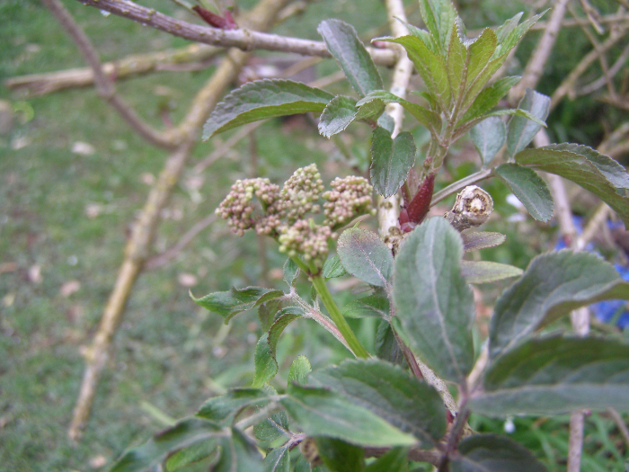 Elder budding up