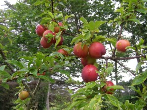 Early Duffs plums, a little late in ripening