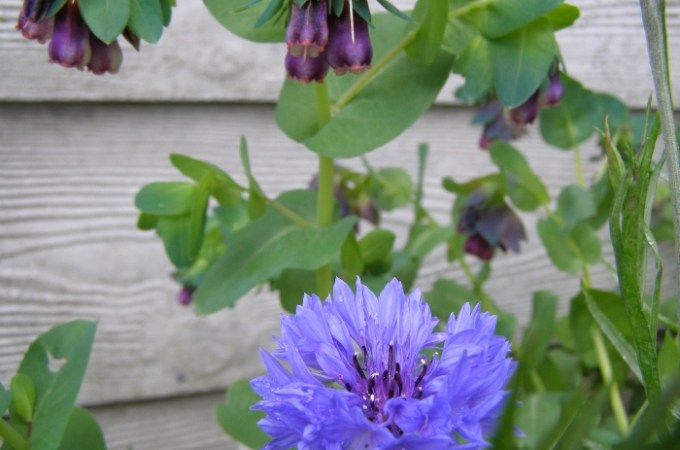 Cornflower with Honeywort flowers