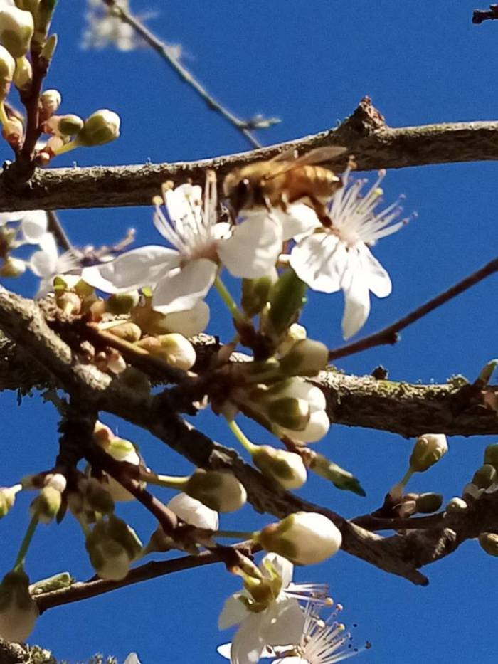 Bee on cherry plum blossom