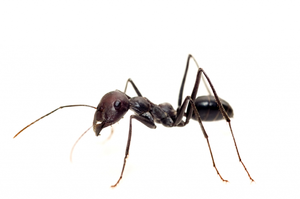 Odorous House Ant Pest Control  Stop Bugging Me Pest