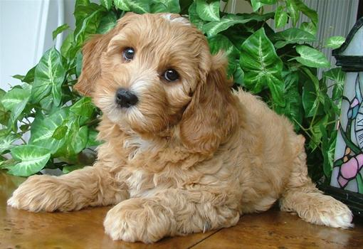 Labradoodle Online Puppy Mill