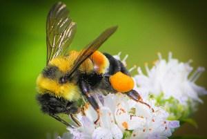 rustypatchedbumblebee