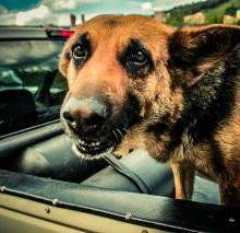 dog chasing car