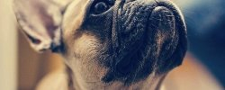 What's The Best Dog Food For French Bulldogs? A Complete Guide 25