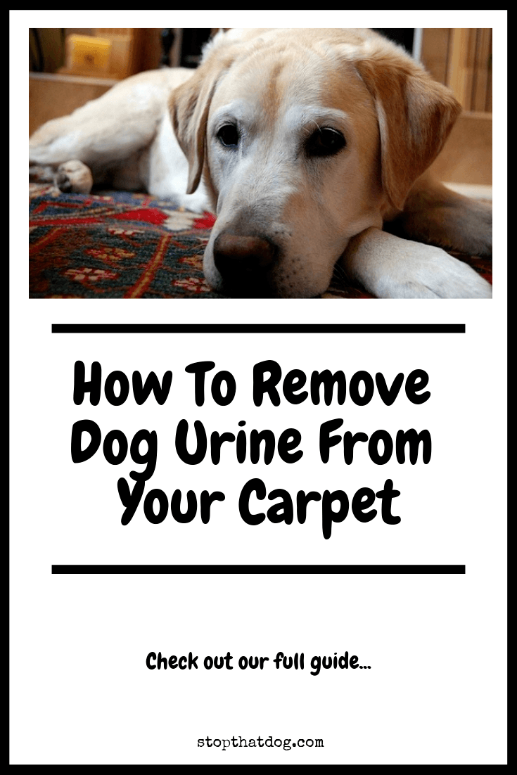 Looking to remove the odor and stain of dog urine from a carpet? If so, our 4-step process will show you how to do it quickly and easily.