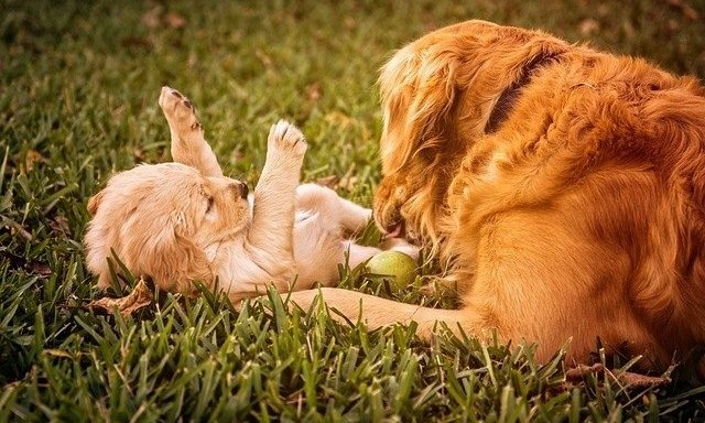 The Ultimate Golden Retriever Guide 3