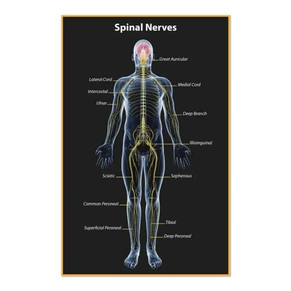 1342. Poster - Spinal Nerves Justus Chiropractic Marketing