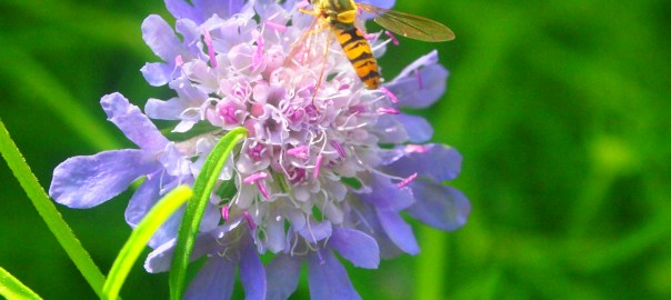 Scabious in the garden - July Open Day.