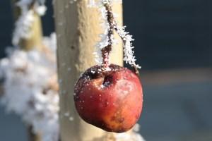 Apfel Winter Baum verfault
