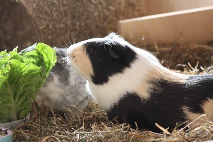 meerschweinmann cappu haustier tod
