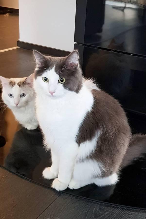 Ragdolls-Katzen-Herzkater-Katzen-Lifestyle-Catcontent
