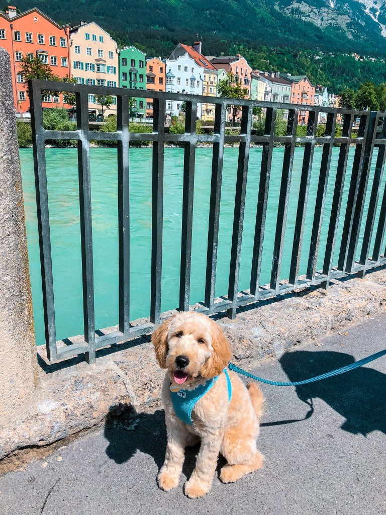 Goldendoodle in Innsbruck