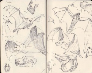 Malaysian Flying Fox Sketches