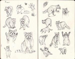 Raccoon sketches