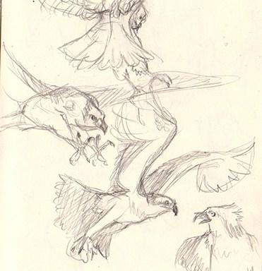 osprey bird sketches