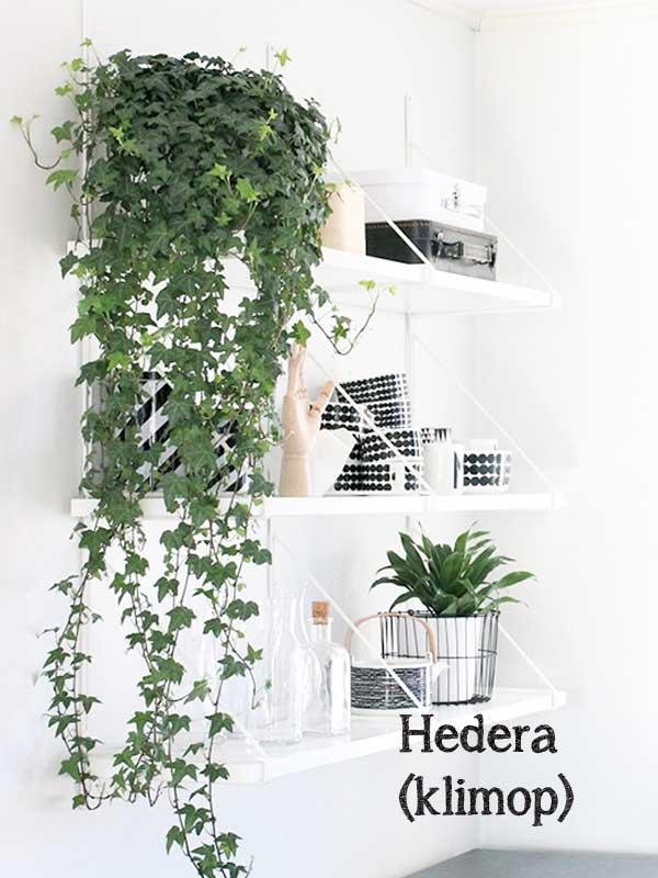 De 7 hipste hangplanten als blikvanger thuis of op kantoor