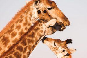 Jezik ćirafe / Foto: Gareth More / Unsplash